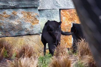 Jaguargehege Artis Royal Zoo Amsterdam